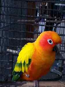 Pinapple conure Clear Mountain Pine Rivers Area Preview