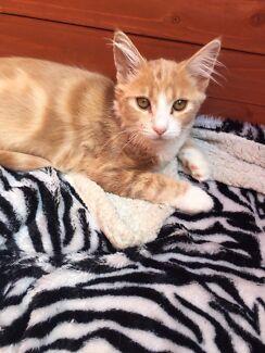 Kitten up for adoption-gingie