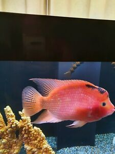 Regretful Sale!!! Beautiful Americian Cichlid