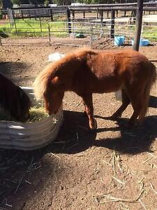 Miniature Chestnut Colt Roleystone Armadale Area Preview