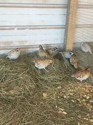 Mexican Speckle Quail Hatching Eggs