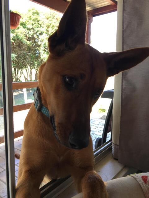 Nina free to a good home | Dogs & Puppies | Gumtree Australia