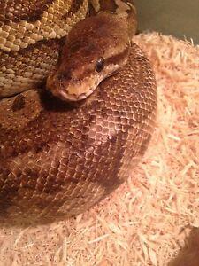 Adult female Mojave ball python!
