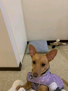Chihuahua x Jack Russell- female puppy/ dog