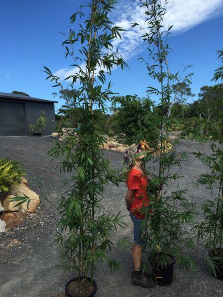 Gracilis bamboo huge 300mm