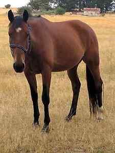Last time listing this horse Ballarat Central Ballarat City Preview