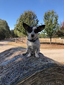 Wanted Cowboy Corgi Dogs Puppies Gumtree Australia Wagga
