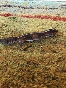 Beautiful African Fat-tailed  gecko female