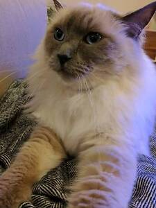 Lost ragdoll cat Bayswater North Maroondah Area Preview