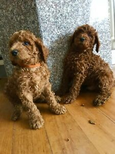 Red Standard Poodle Purebred Puppies