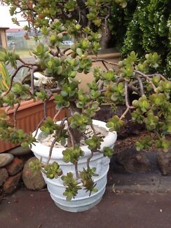 Money tree for $30 St Clair Penrith Area Preview