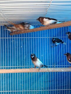 Bengalese Finches Munno Para West Playford Area Preview