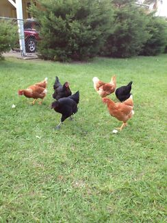6 Hand raised chickens for sale