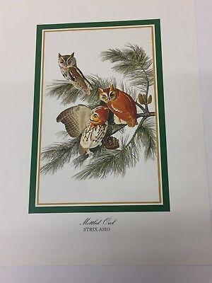 Audubon - MOTTLED OWL  - Bird Print 25.5 cm x 19.5 cm Vintage Art Birds