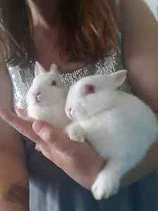 Baby netherland Dwarf rabbits very cute and quiet. Koo Wee Rup Cardinia Area Preview
