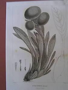 Botanical engravings Original Prints   late 1700 early 1800s   15 Mornington Mornington Peninsula Preview