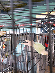Blue and silver conures Bli Bli Maroochydore Area Preview