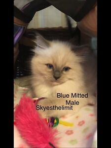 Blue Point Mitted Ragdoll - Male