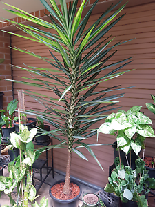 2 metre plant Yagoona Bankstown Area Preview