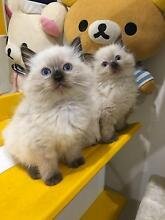Purebred Ragdoll kittens Available to good homes now! Marrickville Marrickville Area Preview