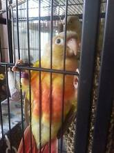 Handraised Birds Caboolture South Caboolture Area Preview