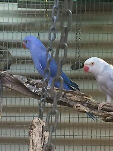 Baby Indian Ringneck Katamatite Moira Area Preview