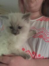Ragdoll kitten Narre Warren Casey Area Preview