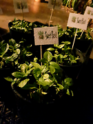 * Sweet BASIL $2.50 ~ Homegrown * Berwick Casey Area Preview