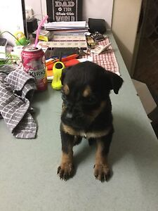Rotti pup for sale Ellenbrook Swan Area Preview