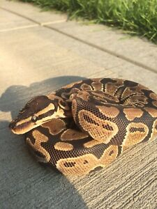 Het pied ball python need gone ASAP