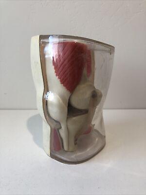 Vintage Merck Sharp Dohme Knee Anatomical Model Pharmaceutical Model