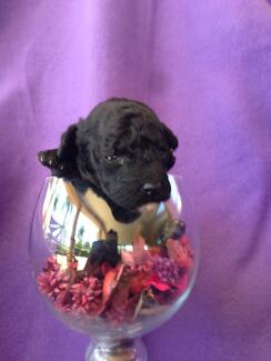 Toy Poodle  Purebred Male Puppies (Black) Beerwah Caloundra Area Preview