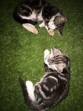 Tabby Kittens for sale Palm Beach Gold Coast South Preview
