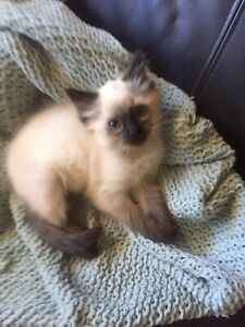 Chocolate Seal Point Ragdoll kitten