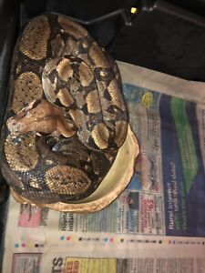 Male boa red tail hybrid