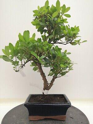 Bonsai di Azalea h. 41 cm Visita il mio negozio!