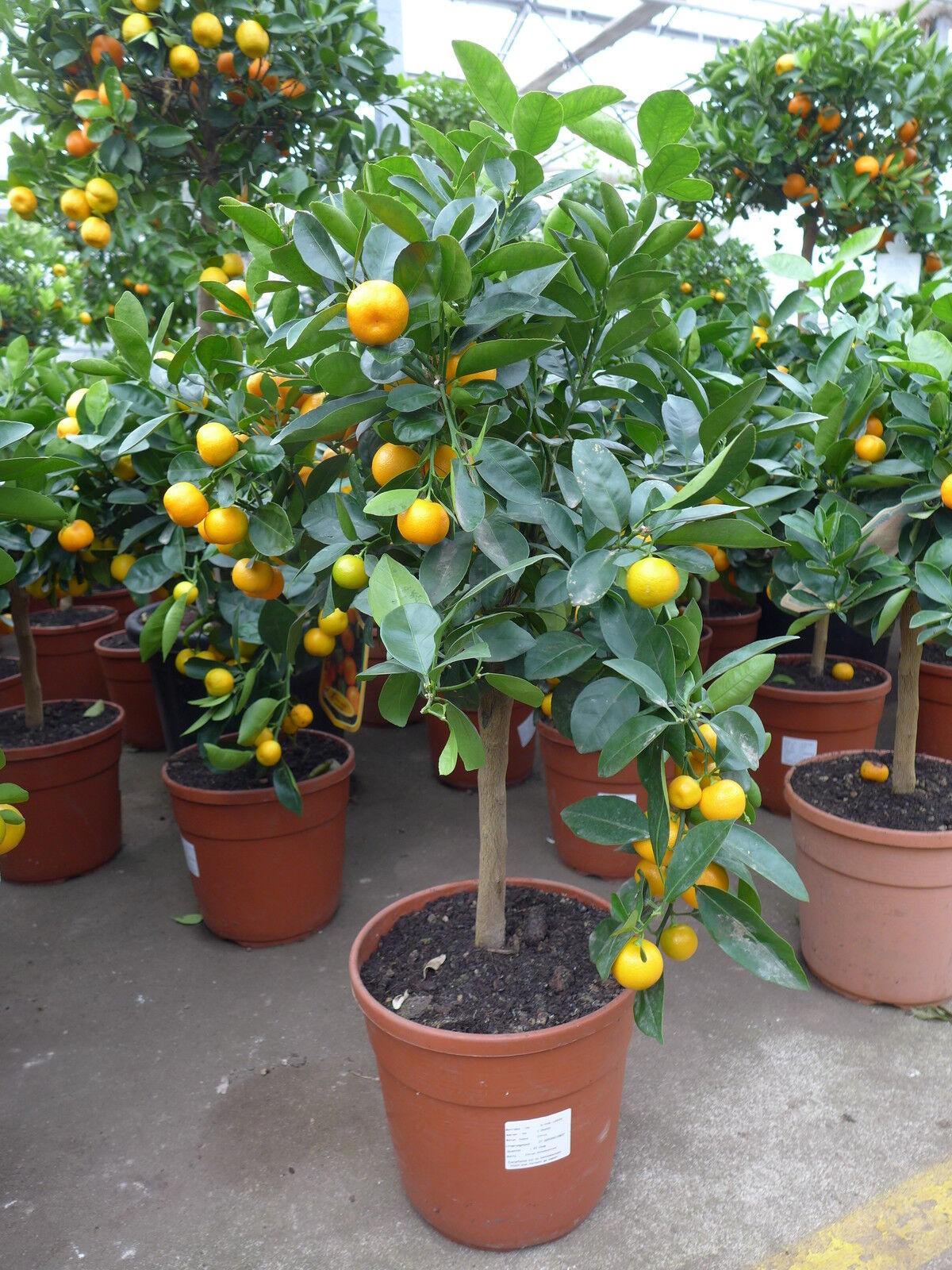 Calamondin Citrus  ca. 65 - 80 cm mitis Zitronenbaum Orangenbaum veredelt