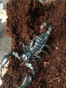 Female Asian Forest Scorpion