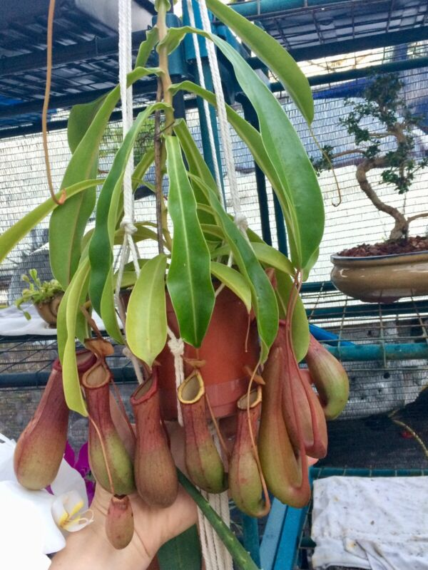 NEPENTHES ALATA. PITCHER PLANT