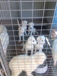 Maremma x Huski puppies