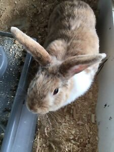 Cute male rabbit  for rehoming!!!