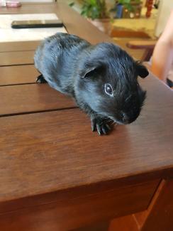Gunnie pig