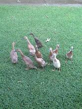 Indian Runner ducklings for sale. Maitland Maitland Area Preview