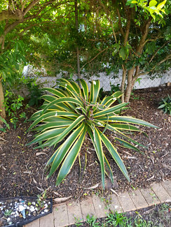 Free Agave Plants