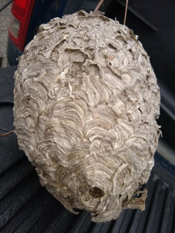 Bald Faced Hornet Nest Taxidermy