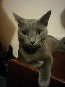 MISSING: SILVER CAT, RIVERVIEW Riverview Lane Cove Area Preview