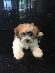 Beautiful golden Tri colour Maltese / Shih tzu girl Murrumba Downs Pine Rivers Area Preview
