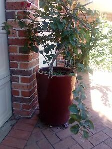 Bougainvilleas in large glazed pots x 2 Quakers Hill Blacktown Area Preview
