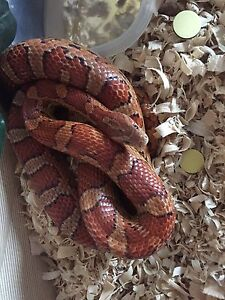 Red corn snake (female)