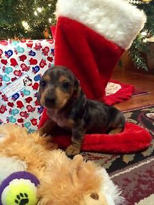 Miniature Dachshund Puppies AVAILABLE!